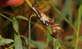 obsoleta_larva.JPG