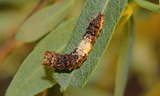 obsoleta_larva_2.JPG