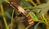 obsoleta_larva_3.JPG