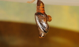 obsoleta_pupa.JPG