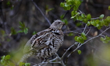 ruffed_grouse.JPG